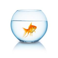 big goldfish in a fishbowl- Stock Photo or Stock Video of rcfotostock | RC-Photo-Stock
