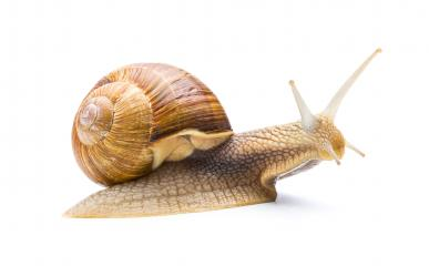 big snail on white : Stock Photo or Stock Video Download rcfotostock photos, images and assets rcfotostock | RC-Photo-Stock.: