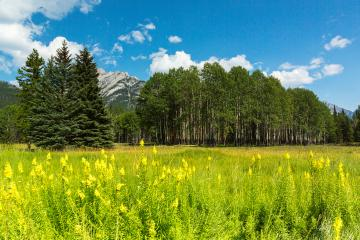 Birch forest at the Banff National park canada- Stock Photo or Stock Video of rcfotostock | RC-Photo-Stock