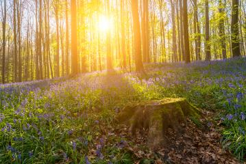 bluebell spring wild flowers as a violet blue carpet on the beech forest hallerbos : Stock Photo or Stock Video Download rcfotostock photos, images and assets rcfotostock | RC-Photo-Stock.:
