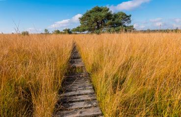 boardwalk to a bog pine at the High Fens a bog landscape at autumn, Belgium, Hohes Venn- Stock Photo or Stock Video of rcfotostock | RC-Photo-Stock