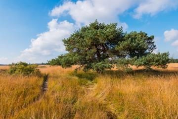 bog pine at the High Fens moor at autumn, Belgium, Hohes Venn : Stock Photo or Stock Video Download rcfotostock photos, images and assets rcfotostock | RC-Photo-Stock.: