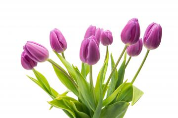 bouquet of purple tulip flowers : Stock Photo or Stock Video Download rcfotostock photos, images and assets rcfotostock | RC-Photo-Stock.:
