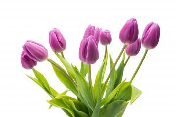 bouquet of purple tulip flowers- Stock Photo or Stock Video of rcfotostock | RC-Photo-Stock