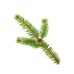 Branch of fir tree on white background- Stock Photo or Stock Video of rcfotostock | RC-Photo-Stock