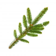 Branch of fir tree on white background : Stock Photo or Stock Video Download rcfotostock photos, images and assets rcfotostock | RC-Photo-Stock.: