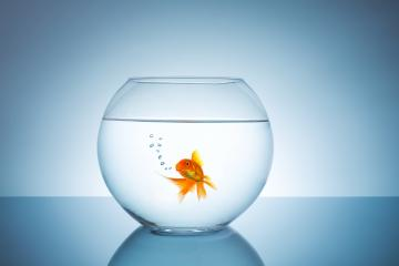 breathing goldfish in a fishbowl- Stock Photo or Stock Video of rcfotostock | RC-Photo-Stock