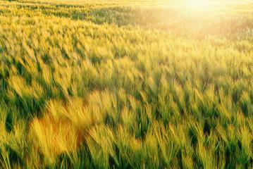 Bright sunset over wheat field- Stock Photo or Stock Video of rcfotostock | RC-Photo-Stock