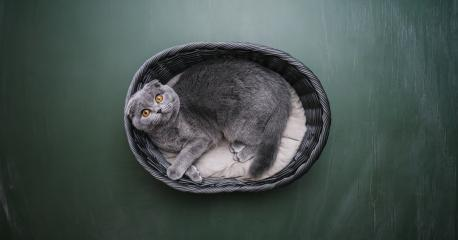 British Shorthair cat lies in a basket on blackboard background in a new apartment. Fluffy pet is doing sleep : Stock Photo or Stock Video Download rcfotostock photos, images and assets rcfotostock | RC-Photo-Stock.: