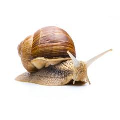 Brown garden snail- Stock Photo or Stock Video of rcfotostock | RC-Photo-Stock