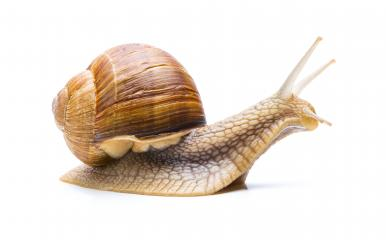 brown Snail- Stock Photo or Stock Video of rcfotostock | RC-Photo-Stock