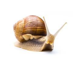 brown Snail looks interesting : Stock Photo or Stock Video Download rcfotostock photos, images and assets rcfotostock | RC-Photo-Stock.: