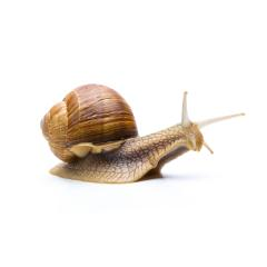 brown snail on white- Stock Photo or Stock Video of rcfotostock | RC-Photo-Stock