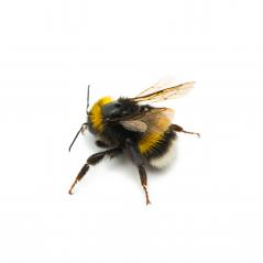 bumblebee : Stock Photo or Stock Video Download rcfotostock photos, images and assets rcfotostock | RC-Photo-Stock.: