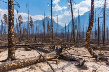 Burned forest at the Jasper national park canada - Stock Photo or Stock Video of rcfotostock | RC-Photo-Stock
