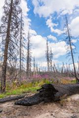 Burnt trees at the rocky mountains in the banff national park canada- Stock Photo or Stock Video of rcfotostock | RC-Photo-Stock