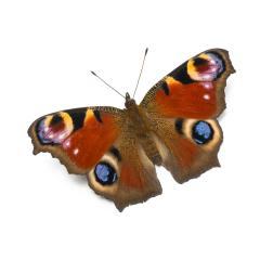 butterfly in beautiful colors, isolated on a white background- Stock Photo or Stock Video of rcfotostock | RC-Photo-Stock