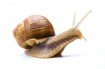 California Snail - Stock Photo or Stock Video of rcfotostock | RC-Photo-Stock