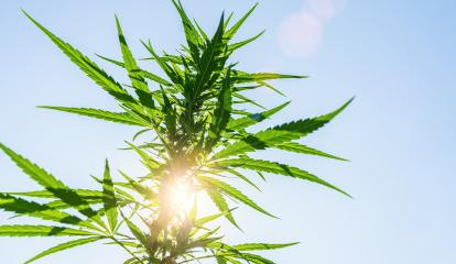 Cannabis flower bud against the sky.  marijuana leaf on a background of blue sky. Background of the theme of legalization and medical hemp in the world.- Stock Photo or Stock Video of rcfotostock | RC-Photo-Stock