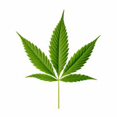 Cannabis leaf Indica isolated on white- Stock Photo or Stock Video of rcfotostock | RC-Photo-Stock