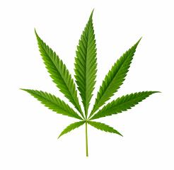 Cannabis leaf isolated on white background- Stock Photo or Stock Video of rcfotostock | RC-Photo-Stock