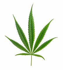 Cannabis leaf Sativa isolated on white : Stock Photo or Stock Video Download rcfotostock photos, images and assets rcfotostock | RC-Photo-Stock.: