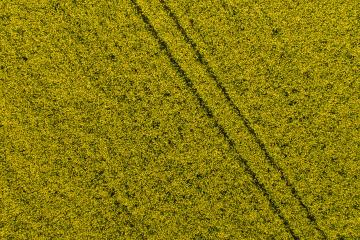 Canola Field. Aerial drone shot top view of yellow canola flowers. Blossoming rapeseed field texture. Agriculture concept image- Stock Photo or Stock Video of rcfotostock | RC-Photo-Stock