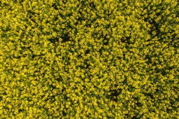 Canola field drone shot- Stock Photo or Stock Video of rcfotostock | RC-Photo-Stock