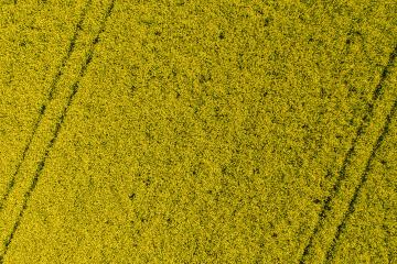 Canola field from above- Stock Photo or Stock Video of rcfotostock | RC-Photo-Stock