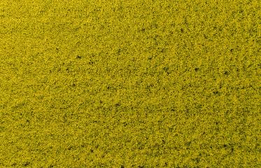 Canola field from above. drone shot- Stock Photo or Stock Video of rcfotostock | RC-Photo-Stock