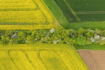 canola field in bloom phase and a corn field with path of tree at spring time. Ecology agriculture near farm. drone shot Aerial view - Stock Photo or Stock Video of rcfotostock | RC-Photo-Stock