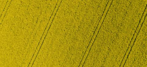 Canola Field. Yellow flowers. Aerial drone shot top view of yellow canola flowers. Blossoming rapeseed field texture. Agriculture concept image, banner size- Stock Photo or Stock Video of rcfotostock | RC-Photo-Stock