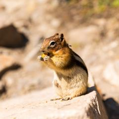 chipmunk eating a nut at the banff national park canada : Stock Photo or Stock Video Download rcfotostock photos, images and assets rcfotostock | RC-Photo-Stock.:
