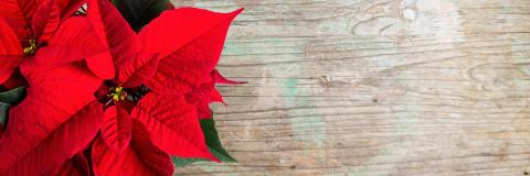 Christmas background with poinsettia on old wooden with copy space - Stock Photo or Stock Video of rcfotostock | RC-Photo-Stock