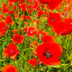 close up of red poppy flowers in a field- Stock Photo or Stock Video of rcfotostock | RC-Photo-Stock
