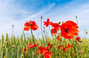 close up of red poppy flowers in a summer field : Stock Photo or Stock Video Download rcfotostock photos, images and assets rcfotostock | RC-Photo-Stock.: