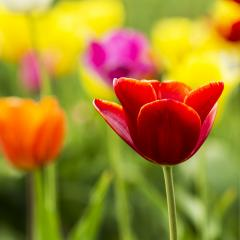Close-up from a Red tulip flower- Stock Photo or Stock Video of rcfotostock | RC-Photo-Stock