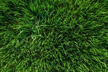 Close-up image of fresh spring green grass or a wheat field, drone shot : Stock Photo or Stock Video Download rcfotostock photos, images and assets rcfotostock | RC-Photo-Stock.: