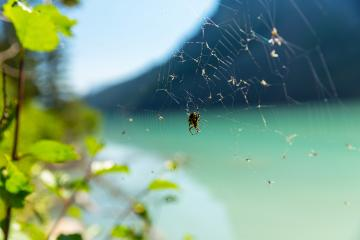 cobweb with spider Lake Louise Mountain in summer at banff canada : Stock Photo or Stock Video Download rcfotostock photos, images and assets rcfotostock | RC-Photo-Stock.:
