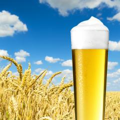 cold beer (pils) with dew on a cornfield- Stock Photo or Stock Video of rcfotostock | RC-Photo-Stock