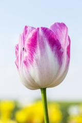 Colorful Tulip Bud in summer- Stock Photo or Stock Video of rcfotostock | RC-Photo-Stock