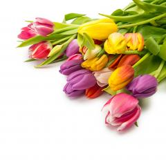 colorful tulip flower bunch : Stock Photo or Stock Video Download rcfotostock photos, images and assets rcfotostock | RC-Photo-Stock.:
