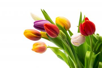 colorful tulip flowers bouquet : Stock Photo or Stock Video Download rcfotostock photos, images and assets rcfotostock | RC-Photo-Stock.: