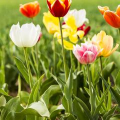 Colorful tulip flowers in a field- Stock Photo or Stock Video of rcfotostock | RC-Photo-Stock