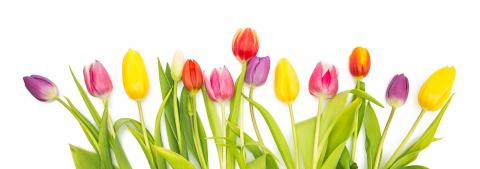 colorful tulip flowers in a row : Stock Photo or Stock Video Download rcfotostock photos, images and assets rcfotostock | RC-Photo-Stock.: