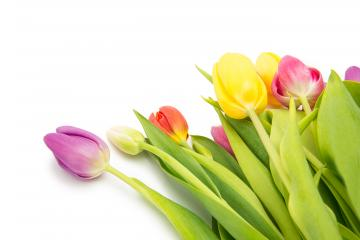 colorful tulips - Stock Photo or Stock Video of rcfotostock | RC-Photo-Stock