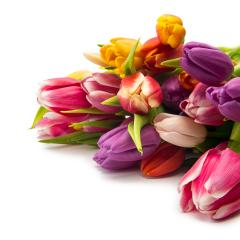 colorful tulips- Stock Photo or Stock Video of rcfotostock | RC-Photo-Stock