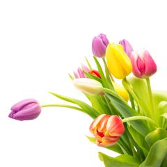 colorful tulips flowers- Stock Photo or Stock Video of rcfotostock | RC-Photo-Stock