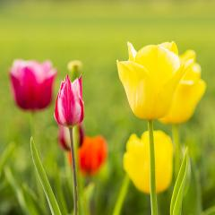 Colorful tulips in a field- Stock Photo or Stock Video of rcfotostock | RC-Photo-Stock