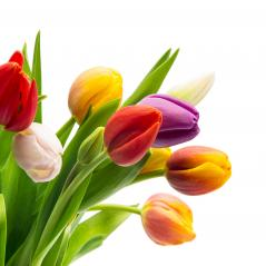 colorful tulips on white : Stock Photo or Stock Video Download rcfotostock photos, images and assets rcfotostock | RC-Photo-Stock.: